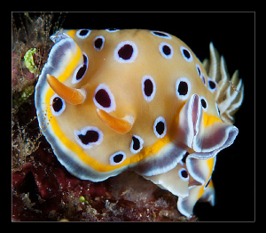 Chromodoris geminus by Charles Wright 